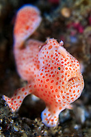 cream phase of a painted frogfish, Antennarius pictus, Bitung, Lembeh Strait, Sulawesi, Celebes Sea, Indo-Pacific, Indonesia