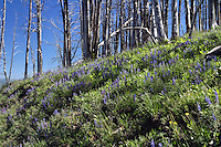 Penstemon (Penstemon) exist domestically in many colors. In Yellowstone however, they are almost always of the purple/blue variety. Native Americans long used Penstemon roots to relieve toothache.