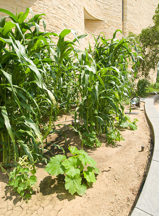 Washington DC; USA:  National Museum of the American Indian, inspiring new architecture on the Mall. Corn, beans, and squash, Native American crops, being grown..Photo copyright Lee Foster Photo # 12-washdc83300