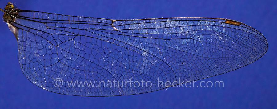 Flügel einer Libelle, Flügelgeäder, Flügeladerung, Hinterflügel einer Großlibelle, Blaugrüne Mosaikjungfer, Blaugrüne-Mosaikjungfer, Aeshna cyanea, Aeschna cyanea, blue-green darner, southern aeshna, southern hawker