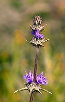 Thistle Sage (Salvia carduacea) Antelope Valley near Lancaster, California