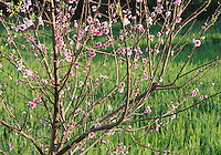 Stock image plum blossom flowers, Almond flowers on the tree standing in a farm in Cyprus.