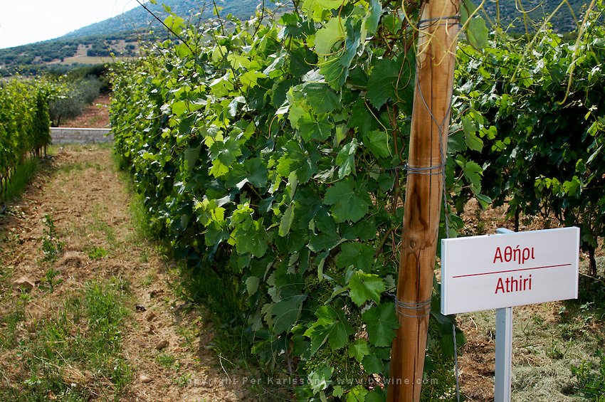Vines. Athiri vine variety. Biblia Chora Winery, Kokkinohori, Kavala, Macedonia, Greece