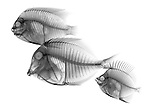 X-ray image of reef fish facing left (black on white) by Jim Wehtje, specialist in x-ray art and design images.