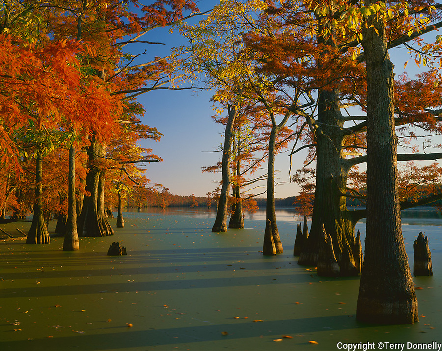 Horseshoe Lake Conservation Area, IL: Bald Cypress & Tupelo trees in fall color with duckweed on the calm surface of Horseshoe Lake