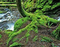 Moss on tree with small stream, Bridge Creek, Lane County, Oregon