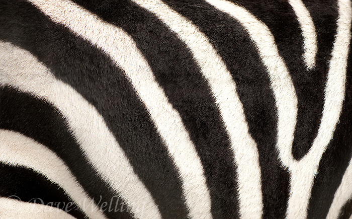 699379525 stripe pattern of a captive burchell's zebra equus burchelli a wildlife rescue animal is native to the african subcontinent