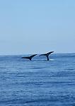 Depuis des millenaires, les baleines a bosse (Megaptera novaeangliae) effectuent un periple annuel de plus de 10 000 km en remontant en deux mois le canal de Mozambique le long des cotes orientales d Afrique depuis les eaux riches en krill de l Antarctique jusqu au lagon de Mayotte.