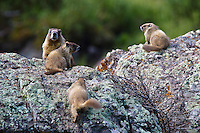 Yellow-bellied marmot (Marmota flaviventris) family