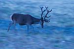 Iberian Red Deer (Cervus elaphus hispanicus) stag running, Sierra de Andujar Natural Park, Sierra de Andujar, Sierra Morena, Andalusia, Spain