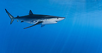 WQ1236-D. The Blue Shark (Prionace glauca) is found throughout tropical and temperate seas worldwide, primarily in the open ocean, from the surface to over 700 feet deep. It grows to over 12 feet long and feeds on squid, schooling bony fish like anchovies and sardines, and also on krill. Large eyes, long pectoral fins, long pointed nose, sleek body and metallic blue to silver gray skin color help to identify it. Azores, Portugal, Atlantic Ocean. <br /> Photo Copyright © Brandon Cole. All rights reserved worldwide.  www.brandoncole.com