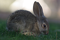 A wild young Desert Cottontail let me get close wall it feed on my grass.