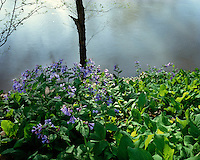 Virginia Bluebells (Mertensia virginica) in foggy sunset light; Big South Fork National River & Recreation Area, TN