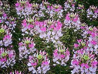 Cleome Sparkler Blush flowers. Oregon Garden, Silverton, Oregon