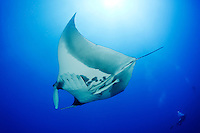 Manta birostris, Riesenmanta, Manta, Ozeanischer Mantarochen und Taucher, Giant Manta Ray, devilray, devilfish, devil ray or devil fish and scuba diver, Brother Inseln, Kleiner Bruder, Rotes Meer, Ägytpen, Little Brother, Brother Islands, Brothers, Red Sea, Egypt