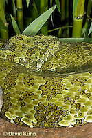 0430-1106  Mang Mountain Pit Viper (China Mangshan Pitviper), Only Non Cobra that Can Spit Venom, Zhaoermia mangshanensis (syn. Trimeresurus mangshanensis)  © David Kuhn/Dwight Kuhn Photography