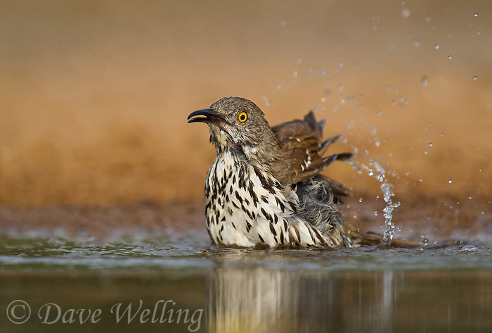 582000066 a wild long-billed thrasher toxostoma longirostre bathes in a small pond on santa clara ranch starr county texas united states