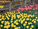 "Skagit County, WA            <br /> A border of yellow and pink tulips under a weathered split rail fence in the Roozengaarde garden. <br /> ""Courtesy of the Washington Bulb Co. Inc."""