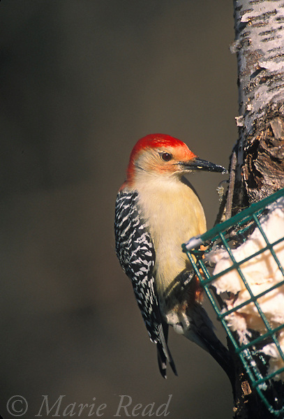 Red-bellied Woodpecker (Melanerpes carolinus) male at a suet feeder in winter, New York, USA<br /> Slide # B96-1623
