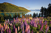 Mount John & Lake Tekapo with flowering lupins in the foreground, Tekapo, Mackenzie District, Canterbury, South Island, New Zealand.