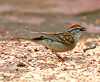 Adult chipping sparrow in breeding plumage at ground feeder