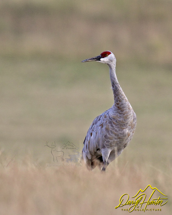 Sandhill Crane, Swan Valley, Idaho