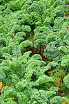 Organic vegetable field. Kale