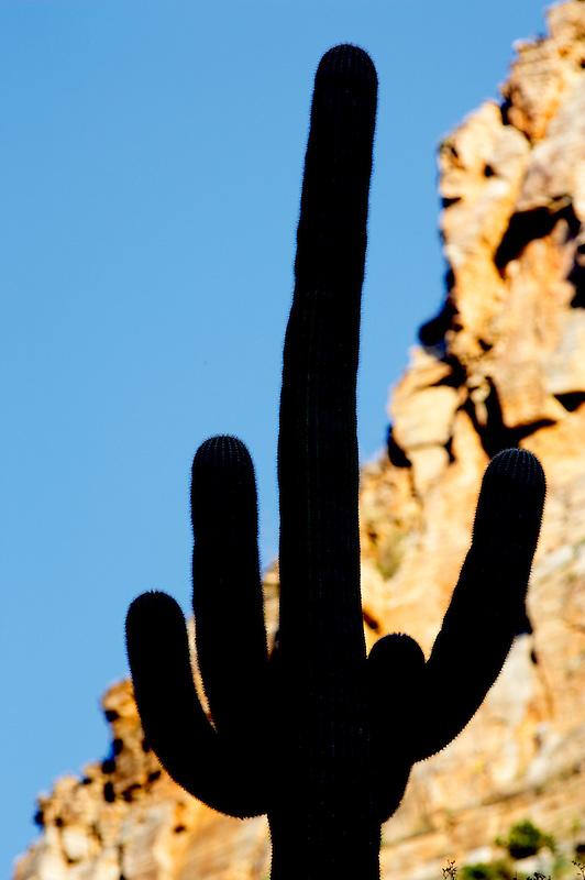 Suguaro cactus in Sabino Canyon . Arizona