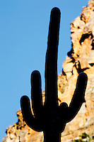 Suguaro cactus in Sabino Canyon . Arizona
