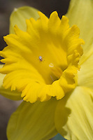 Spider busy weaving her web over the center of a daffodil in full bloom