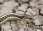 Coast garter snake, Thamnophis elegans terrestris.  San Mateo County, California