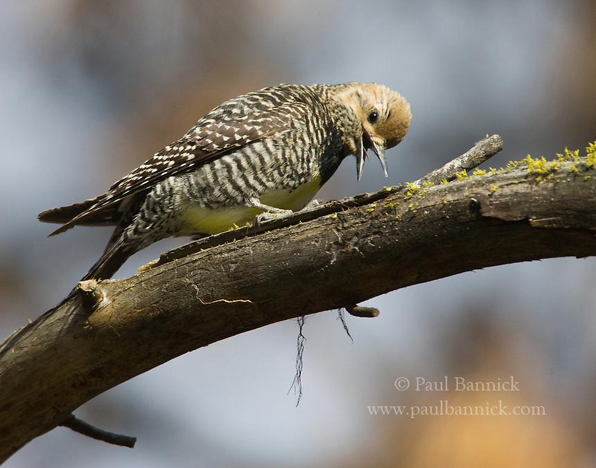A female Williamson's Sapsucker calls aggressively near her nest.