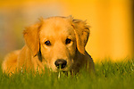 Golden Retriever puppy laying in the grass