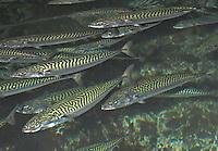 Europäische Makrele, Schwarm, Scomber scombrus, Atlantic mackerel, common mackerel