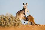 Australia,  NSW, Sturt National Park; red kangaroo female (Macropus rufus) nursing joey; the red kangaroo population increased dramatically after the recent rains in the previous 3 years following 8 years of drought