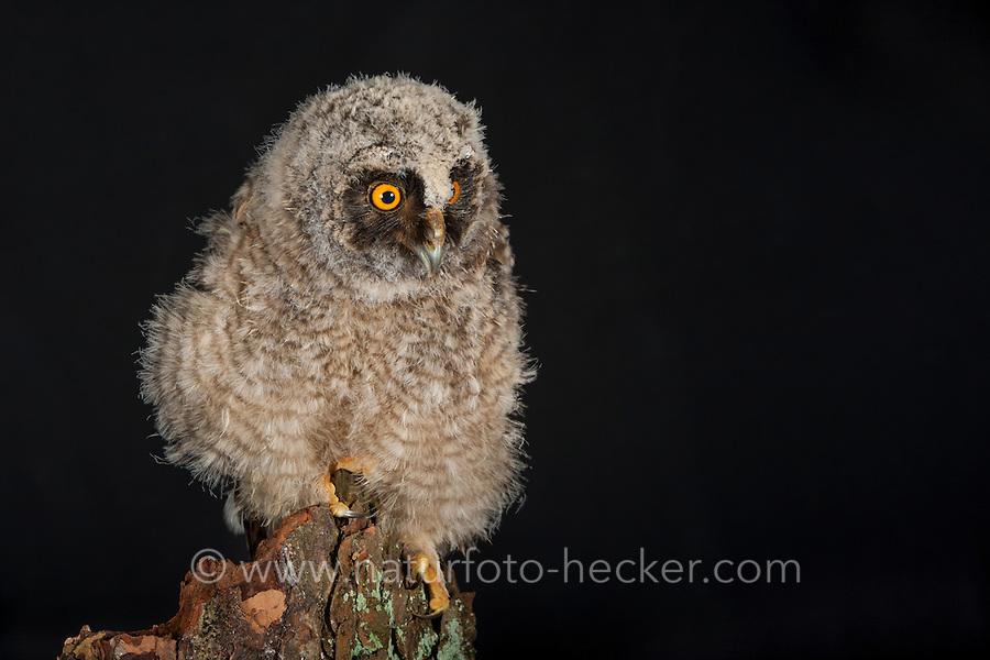 Waldohreule, Ästling, Küken, Jungtier, Jungeule, Waldohr-Eule, Asio otus, long-eared owl, brancher, branchling, fledgling, poult, Le Hibou moyen-duc
