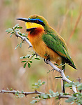 Little Bee Eater, photographed in Nairobi National Park, Kenya