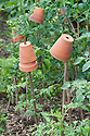 Upturned teracotta pots used as cane tops amongst tomato plants, early August.
