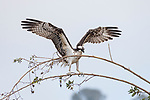 La Jolla, California; an osprey spreads its wings to dry after while perched on a branch, after an unsuccessful plunge in the ocean for fish