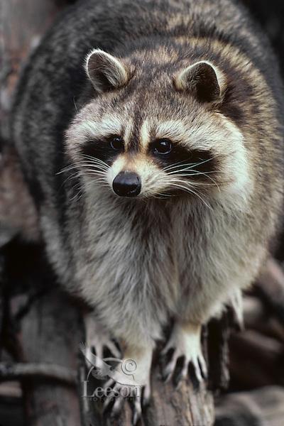 North American Raccoon or northern raccoon