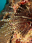 Kenting, Taiwan -- Spines of a sea urchin on a rock wall.