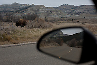 A small herd of plains bison in the Theodore Roosevelt National Park. Before settlers arrived, 30-60 million bison dominated most of North America but their population was decimated in a few short decades as colonizers moved west, foreshadowing the fate of the indigenous people of the continent. They were key to the survival and cultural life of many tribes and were the the namesake Chief Sitting Bull, who united the Sioux tribes fight for survival against the United States government.