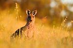 Eastern Grey Kangaroo (Macropus giganteus) female chewing grass at sunrise, Mount Taylor Nature Reserve, Canberra, Australian Capital Territory, Australia