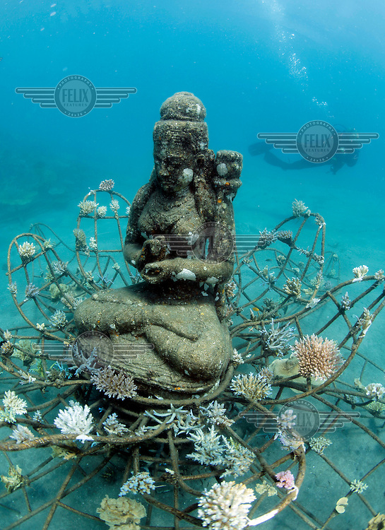 A diver swimming over a statue and metal structure, part of the Biorock reef project in Pemuteran.  ..A low voltage direct current is applied on metal structures using an anode. Once the reef structure is in place and minerals begin to coat the surface, the next phase of reef construction begins. Divers transplant coral fragments from other reefs . Immediately, these coral pieces begin to bond to the accreted mineral substrate and start to grow—typically three to five times faster than normal. Soon other marine life starts colonizing the structure as well...Some say the effort is severely limited. While the method may be useful in bringing small areas of damaged coral back to life, it has very limited application in vast areas that need protection.