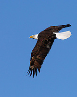 Bald Eagle in flight looks back over its wing.  Llano, TX nest area.