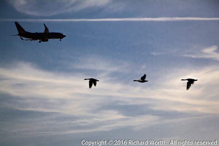A passenger jet flies over three Canada geese flying the opposite direction over San Francisco Bay.