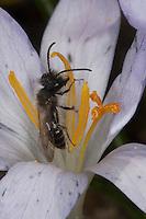 Frühe Weidensandbiene, Frühe Weiden-Sandbiene, Sandbiene, Blütenbesuch im zeitigen Frühjahr auf Krokus, Nektarsuche, Blütenbestäubung, Männchen, Andrena praecox, mining bee, burrowing bee, Sandbienen, mining bees, burrowing bees,