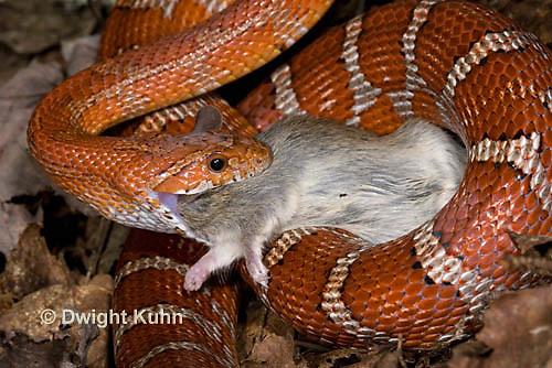1R22-643z  Corn Snake, Banded Corn Snake, Elaphe guttata guttata or Pantherophis guttata guttata, catching and eating mouse