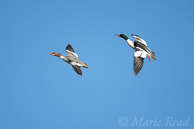 Common Mergansers (Mergus merganser), pair in flight, Ithaca, new York, USA