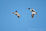 Common Mergansers (Mergus merganser), pair in flight, Ithaca, new York, USA